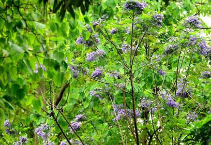 蓝花楹大树价格-蓝花楹什么时候开花,几年开花